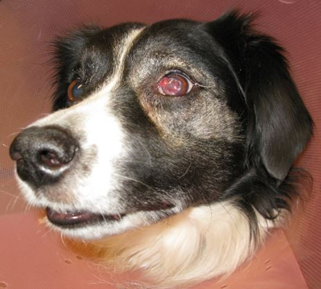 Keratomycosis in a dog