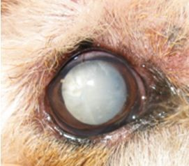 Close up of right eye pre-cataract surgery