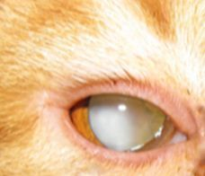 cat before cataract surgery