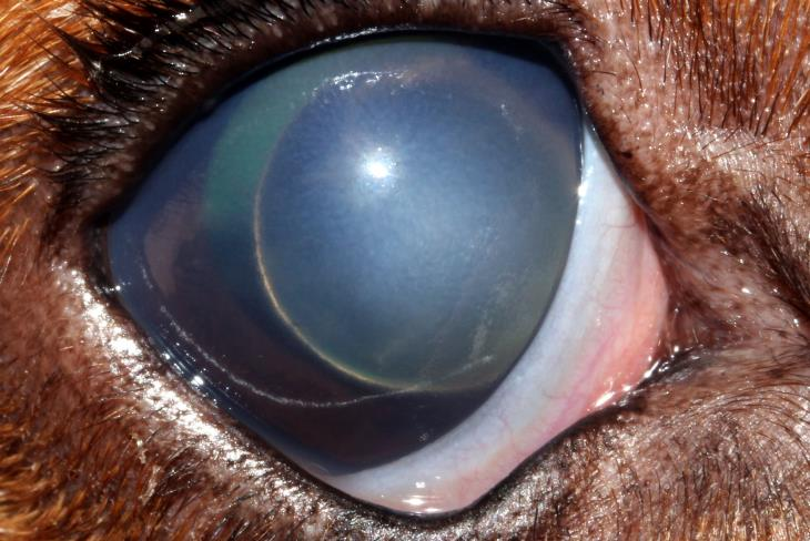 ALL Secondary to Glaucoma in Dog