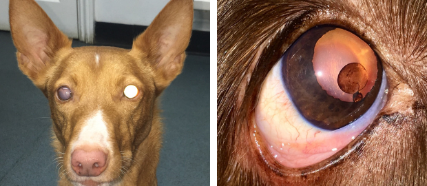 Cataract Free Small Animal CPD