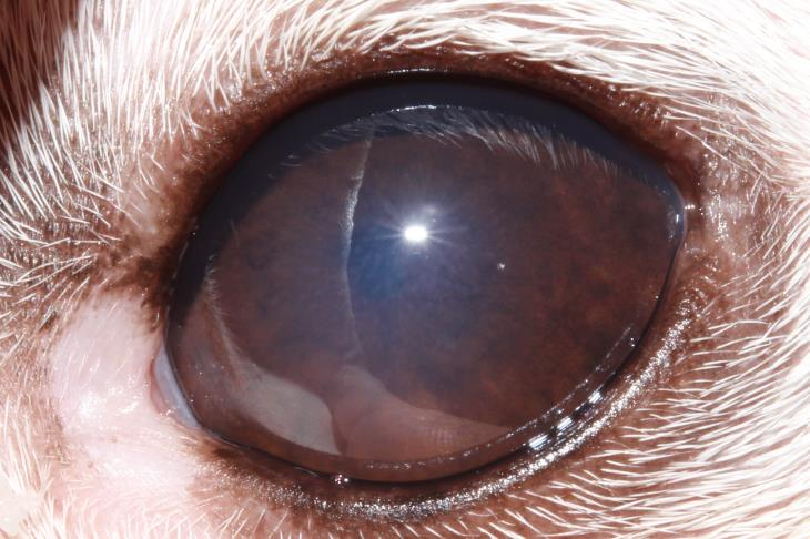 Anterior Lens Luxation In Dog And Treatment